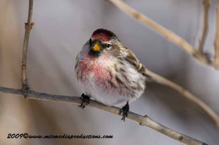 Redpoll Picture-03