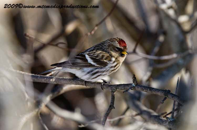 Redpoll Picture-30