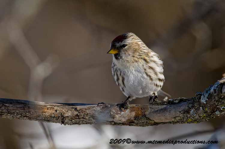 Redpoll Picture-32