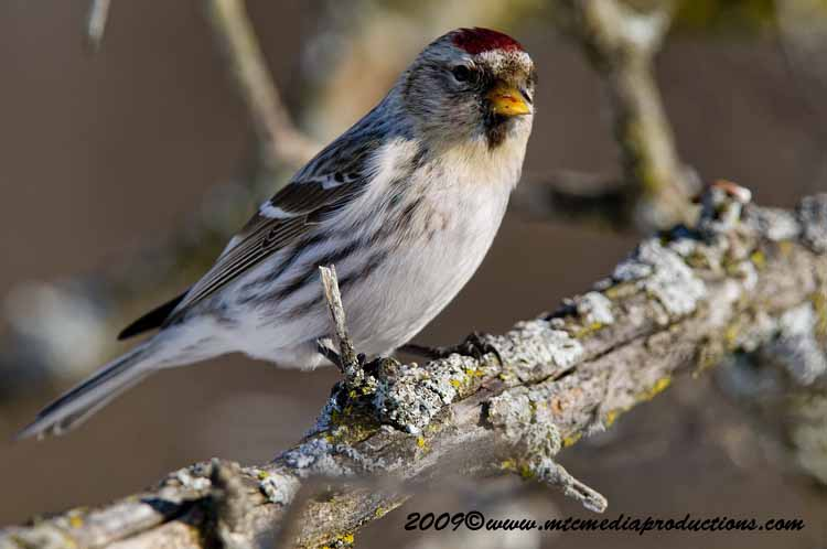 Redpoll Picture-34