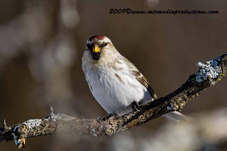 Redpoll Picture-35