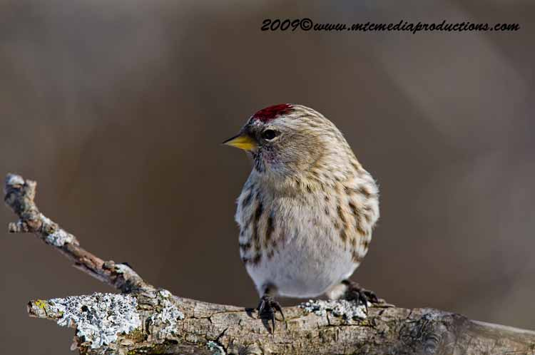 Redpoll Picture-36