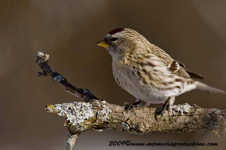 Redpoll Picture-38