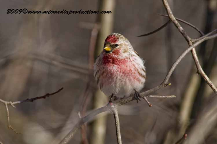 Redpoll Picture-40
