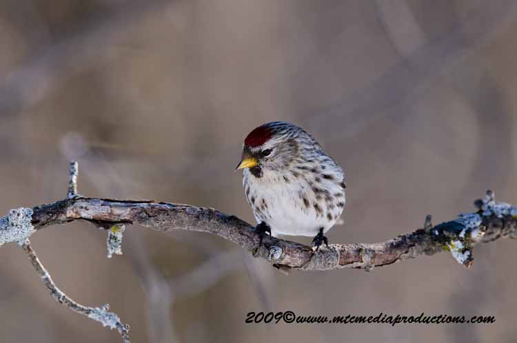 Redpoll Picture-42