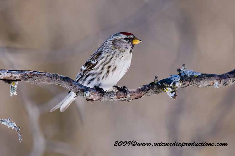 Redpoll Picture-43