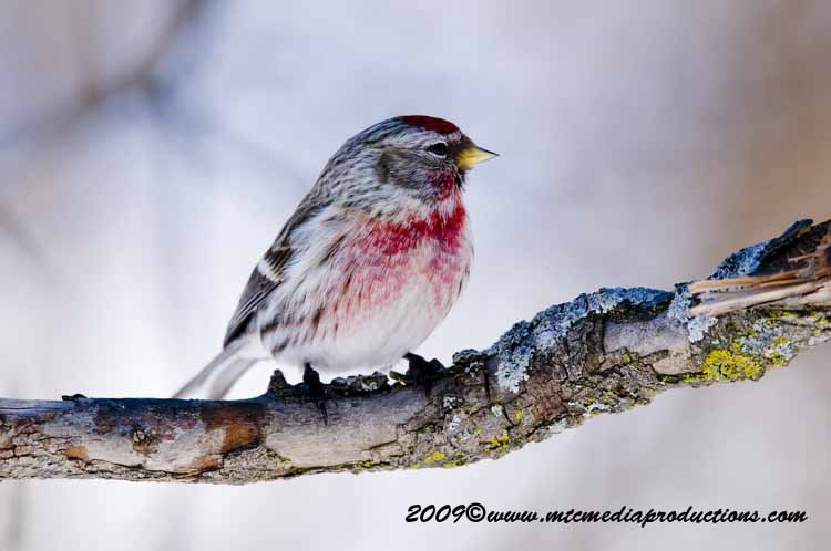 Redpoll Picture-47