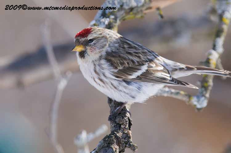 Redpoll Picture-49
