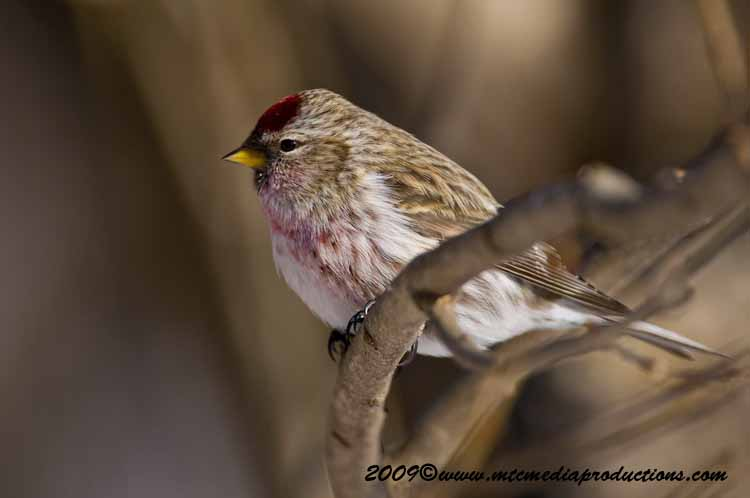 Redpoll Picture-05