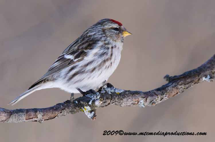 Redpoll Picture-50