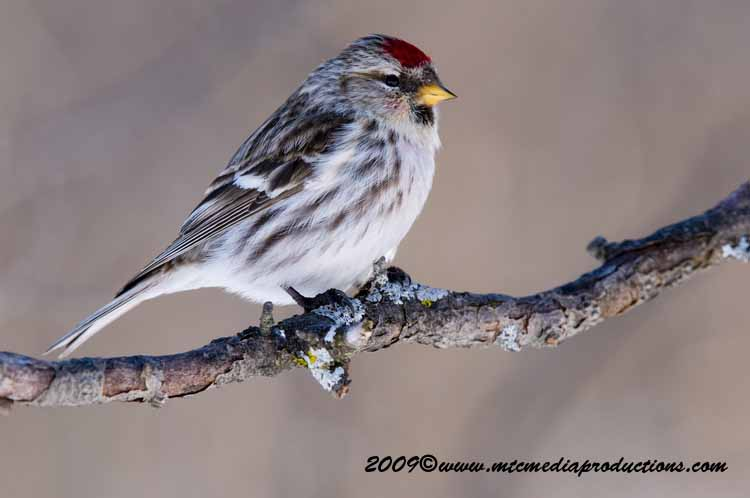 Redpoll Picture-51