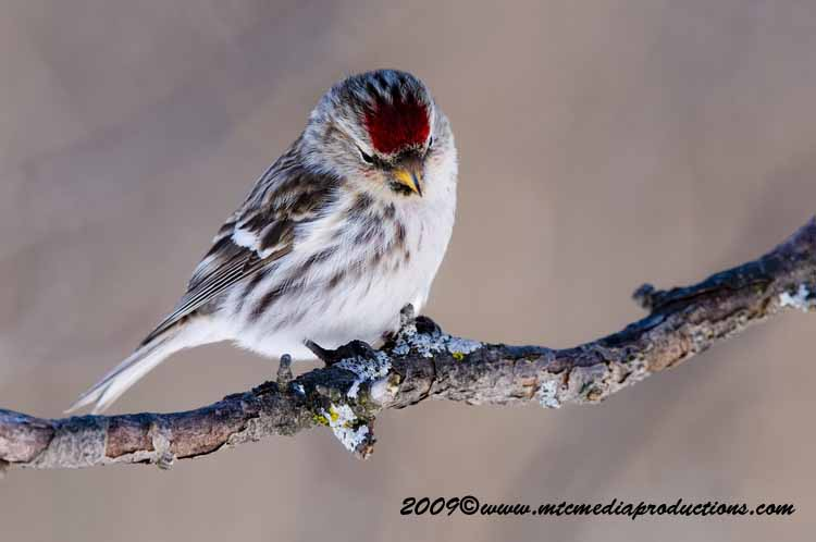 Redpoll Picture-52