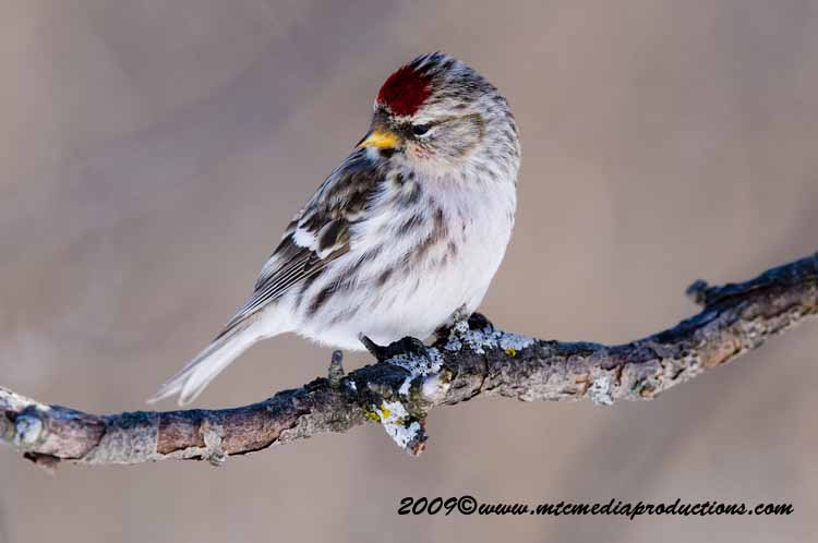Redpoll Picture-53
