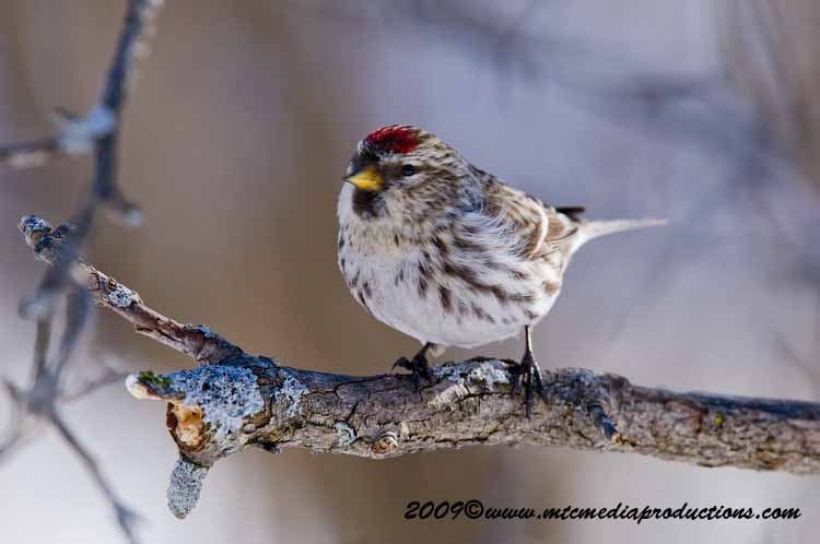 Redpoll Picture-55