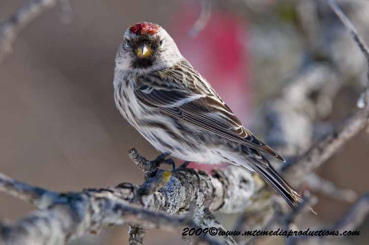 Redpoll Picture-58