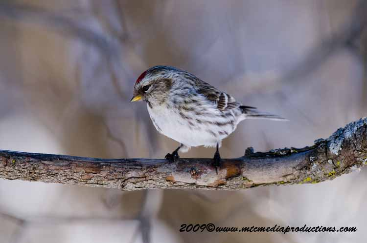 Redpoll Picture-60