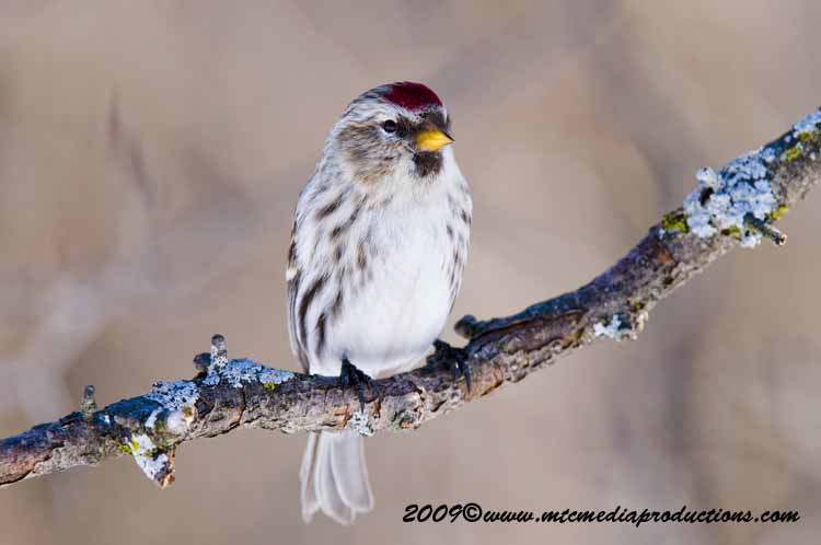 Redpoll Picture-61