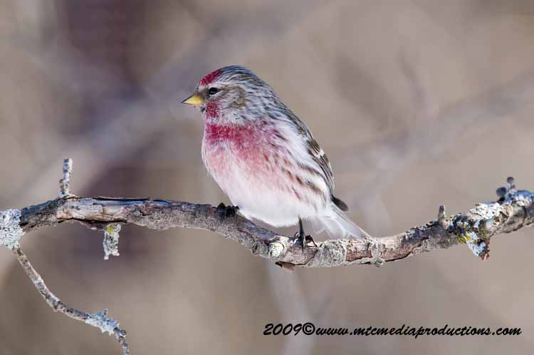 Redpoll Picture-63