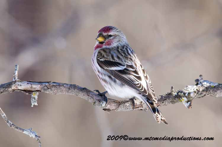 Redpoll Picture-64