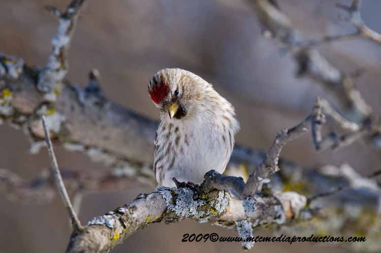 Redpoll Picture-67