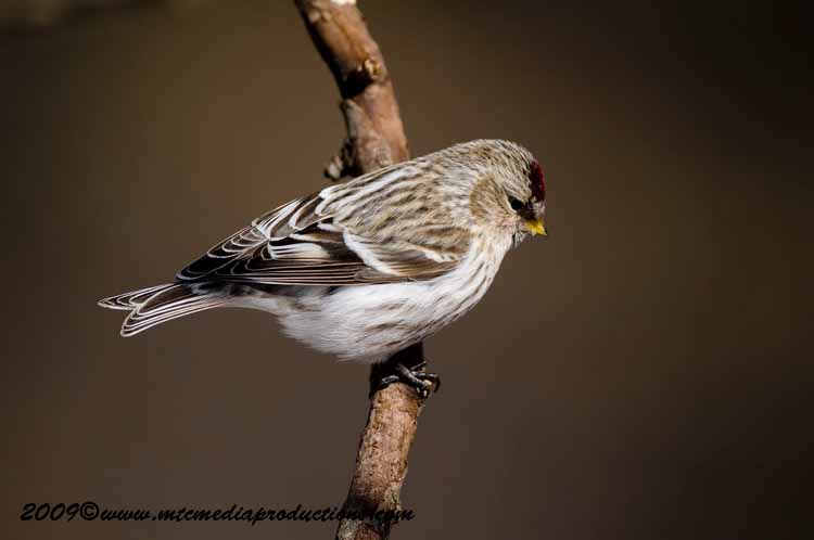 Redpoll Picture-07
