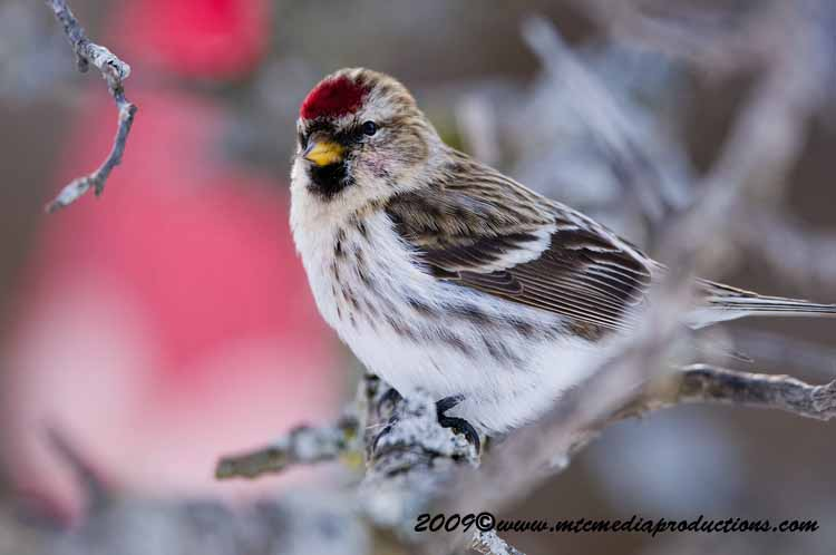Redpoll Picture-72