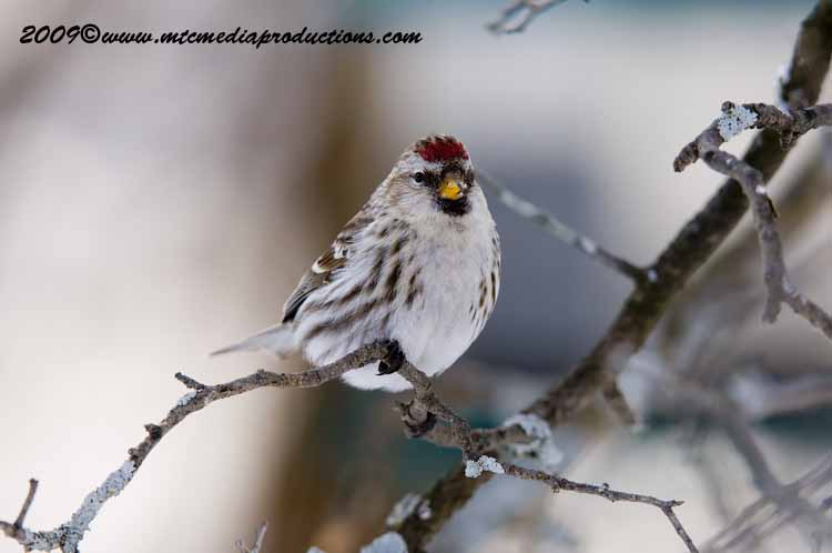 Redpoll Picture-75