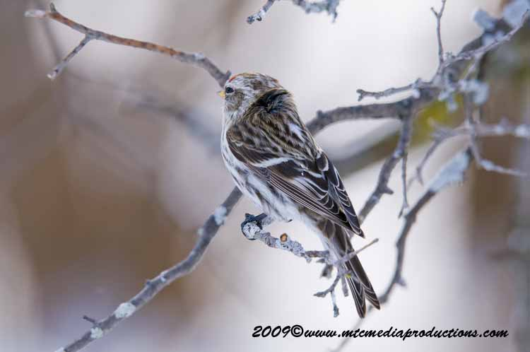 Redpoll Picture-76