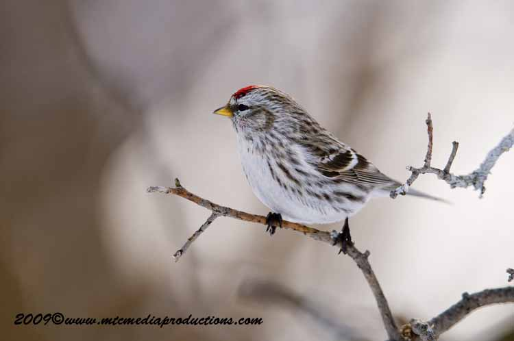 Redpoll Picture-77