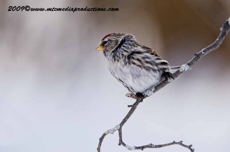 Redpoll Picture-78
