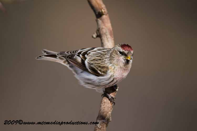 Redpoll Picture-08
