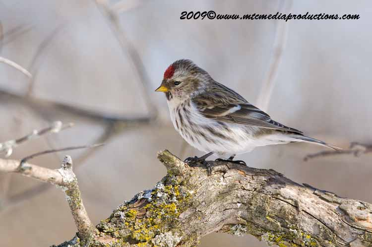 Redpoll Picture-80