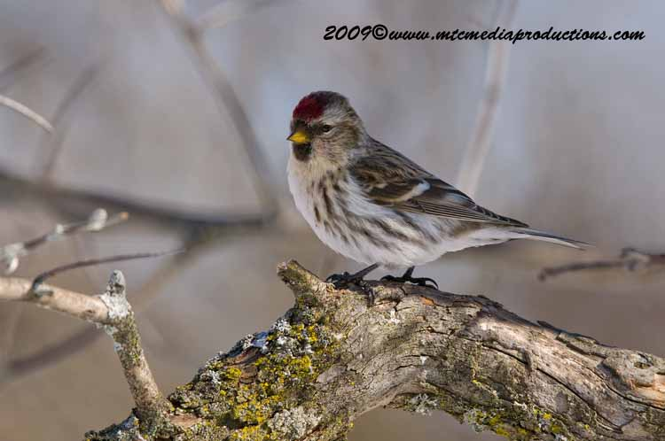Redpoll Picture-81