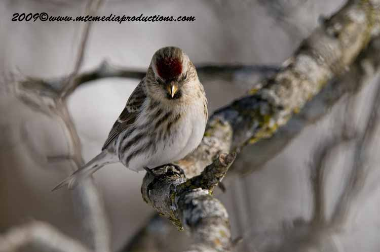 Redpoll Picture-82