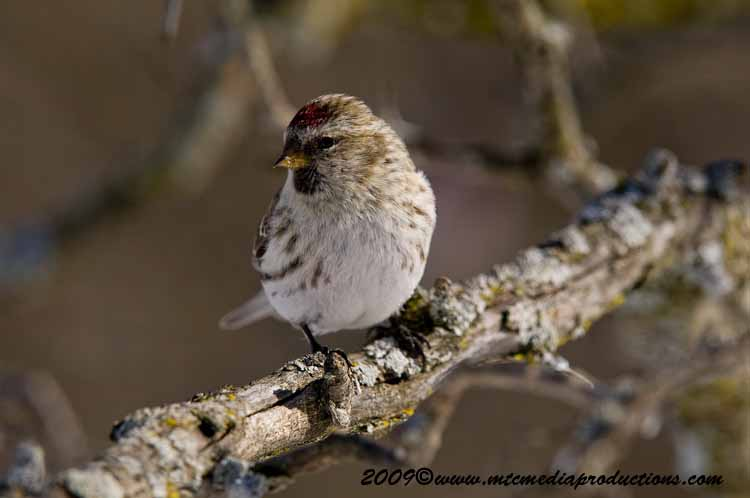 Redpoll Picture-83