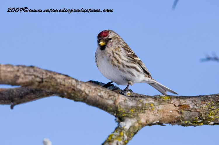 Redpoll Picture-84