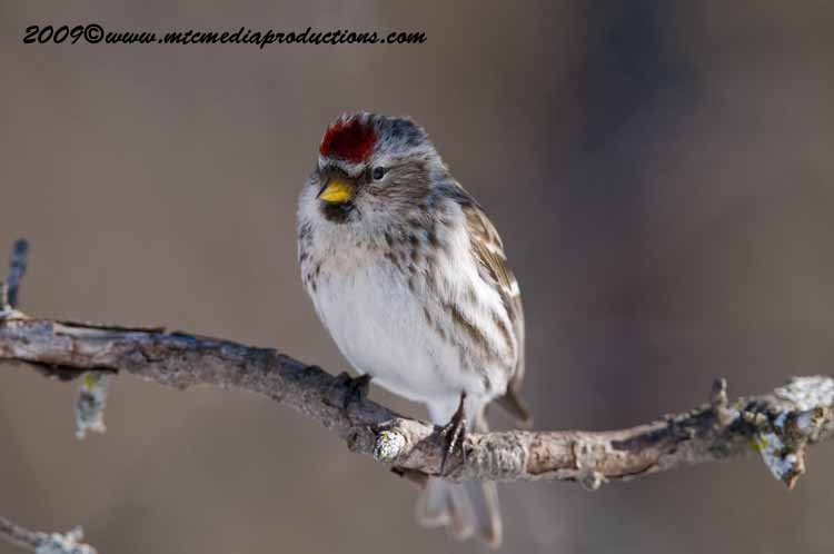 Redpoll Picture-87