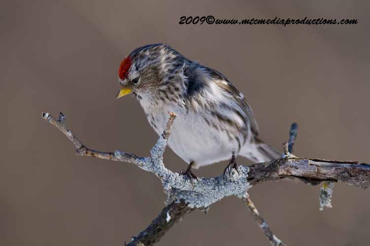 Redpoll Picture-88