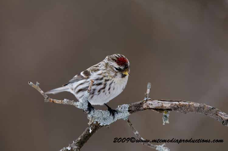 Redpoll Picture-89