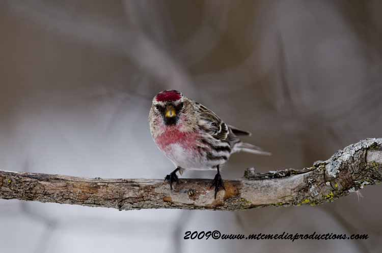 Redpoll Picture-90