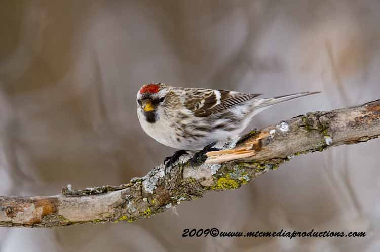 Redpoll Picture-92