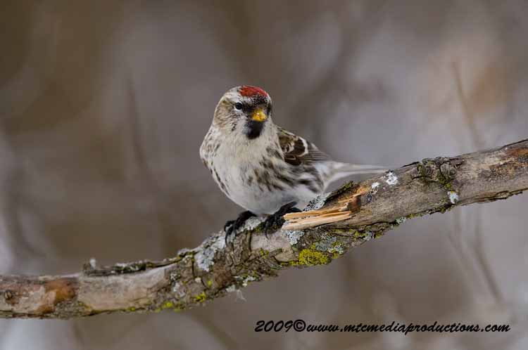 Redpoll Picture-93
