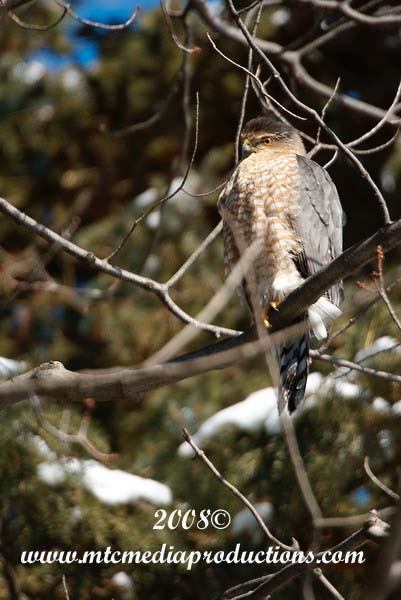 Coopers Hawk Picture-00