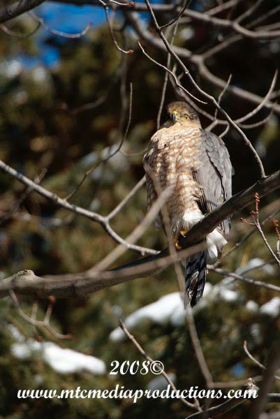 Coopers Hawk Picture-01