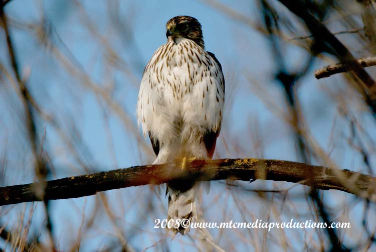 Coopers Hawk Picture-10