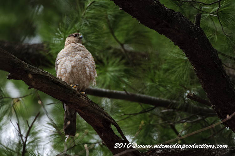 Coopers Hawk Picture-101
