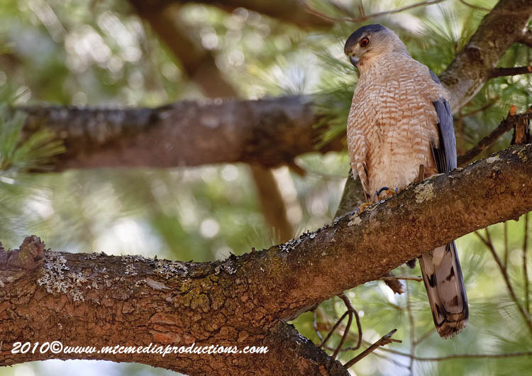 Coopers Hawk Picture-102