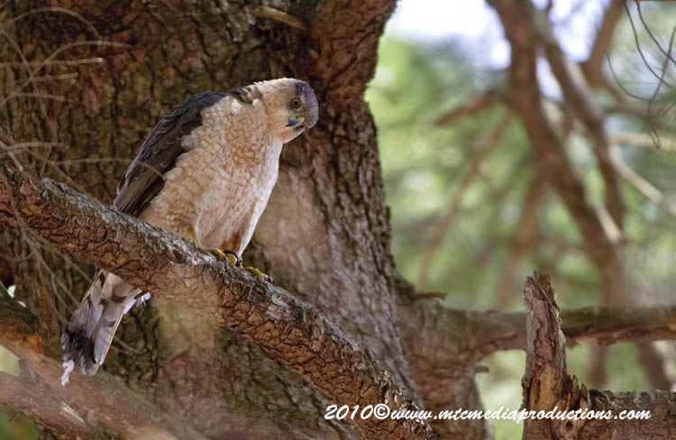Coopers Hawk Picture-103