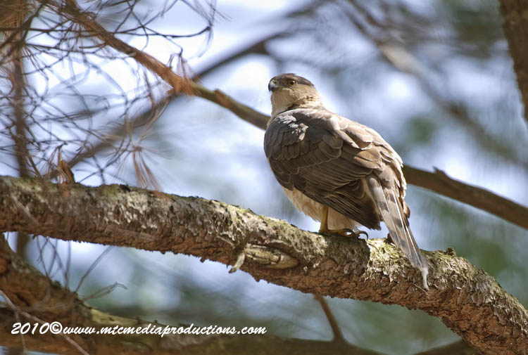 Coopers Hawk Picture-104