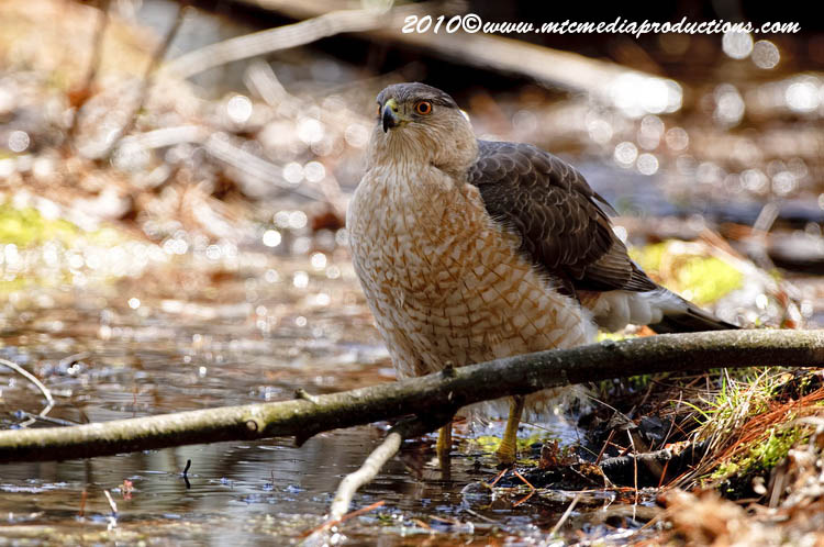 Coopers Hawk Picture-106